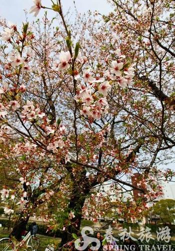 樱花树叶子结构图